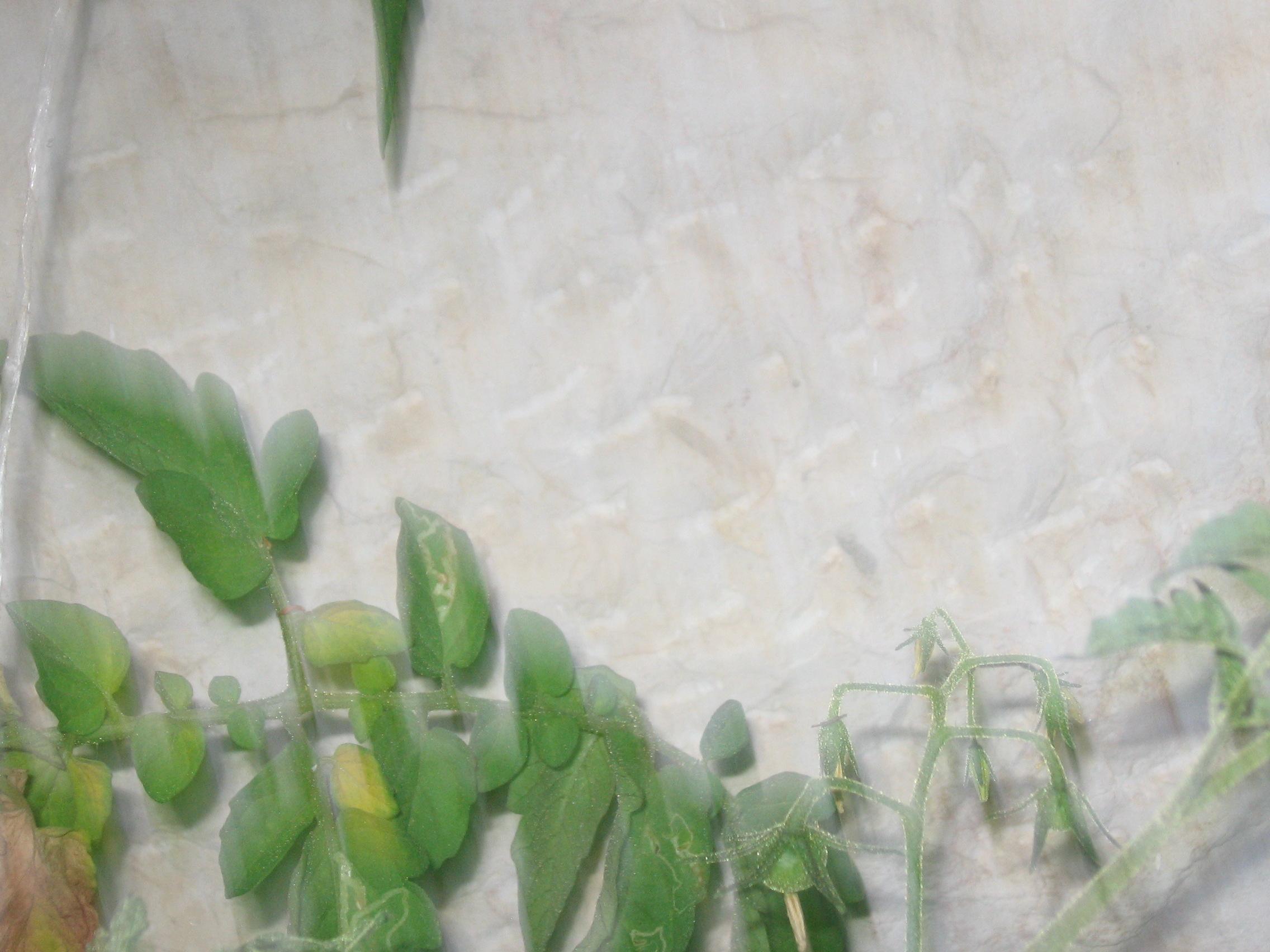 צילום אמנותי של שיח העגבניות